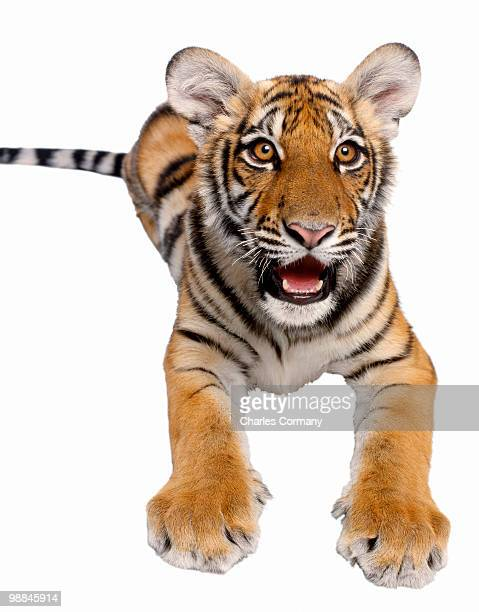 Bengal tiger with mouth open