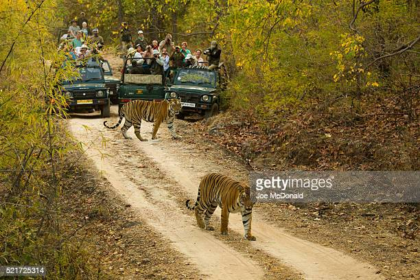 bengal tigers crossing road - bandhavgarh national park stock pictures, royalty-free photos & images