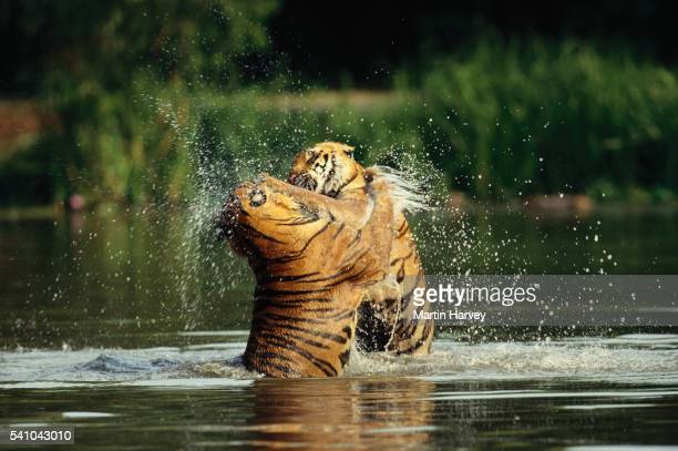 Tiger Attack Stock Photos And Pictures