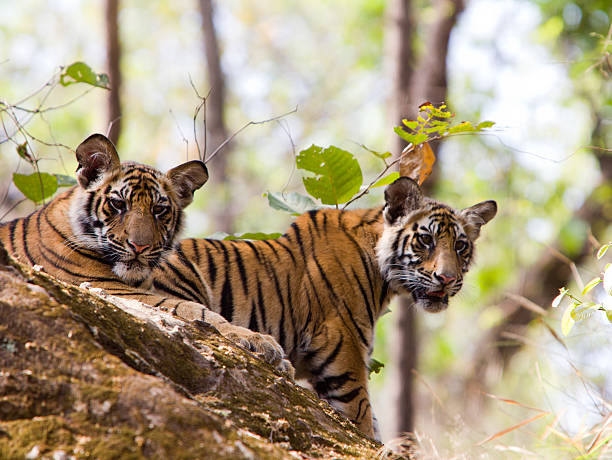 Bengal Tigers in Bandhavgarh NP, India