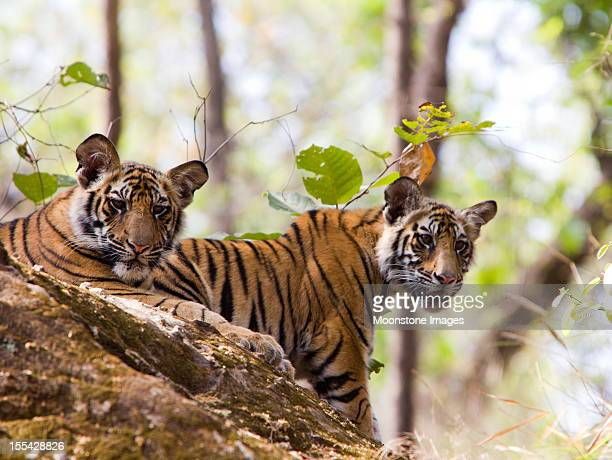 bengal tigers in bandhavgarh np, india - bandhavgarh national park stock pictures, royalty-free photos & images