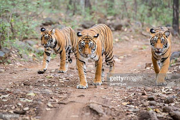 Bengal tigers (Panthera tigris tigris) in Ranthambhore National Park