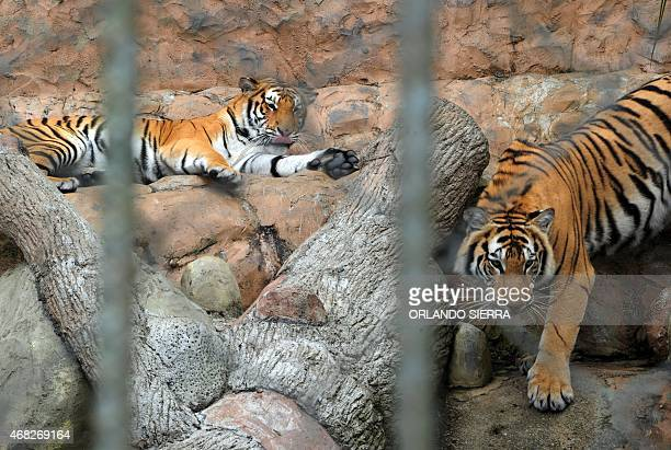 Bengal tigers in their cage in the Joya Grande zoo Santa Cruz de Yohoa municipality Cortes department 2000 km north of Tegucigalpa on March 28 2015 A...