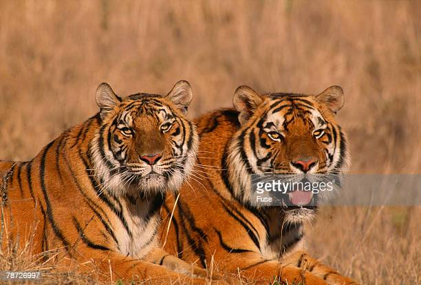 Bengal Tigers Lying in Field