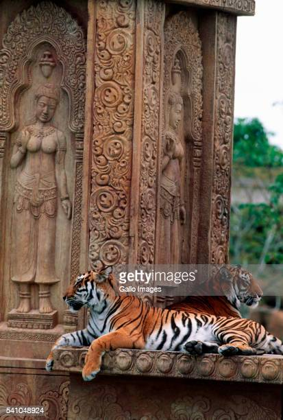 Bengal Tigers Lying on Temple in India