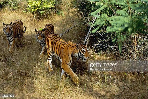 bengal tigers, panthera tigris tigris, 4 year old tigress with her two 11 month old cubs, bandhavgarh national park, madhya pradesh, india - bandhavgarh national park stock pictures, royalty-free photos & images