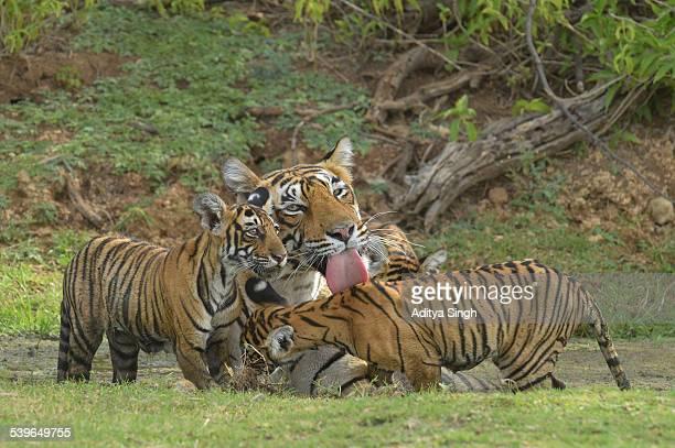 Bengal Tigers -Panthera tigris tigris-, female with cubs at a waterhole, Ranthambore Tiger Reserve, India