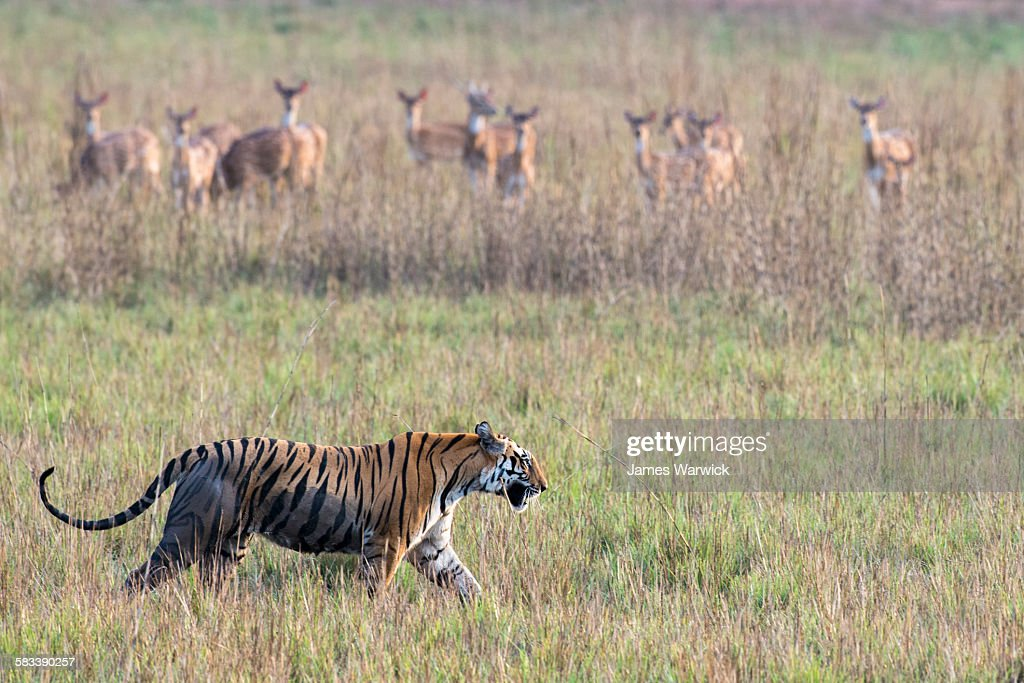 Bengal tigress being watched by chital : Stock Photo