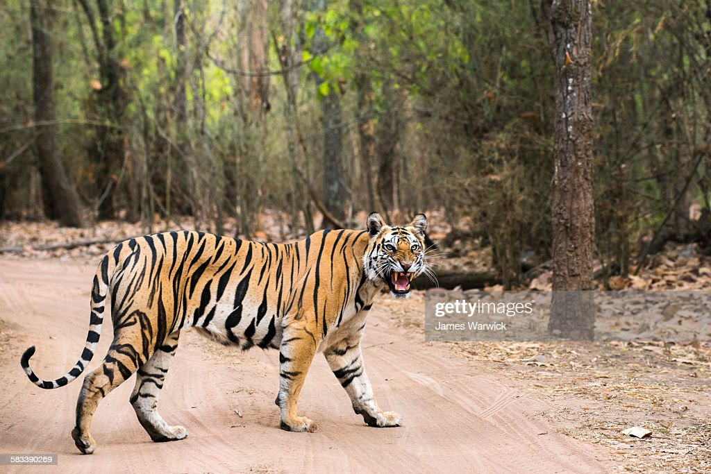 Bengal tigress crossing track in sal forest : Stock Photo