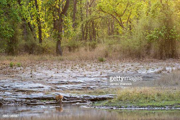 bengal tigress drinking at edge of pool - bandhavgarh national park stock pictures, royalty-free photos & images
