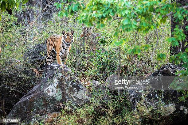 bengal tigress on rocks in sal forest - bandhavgarh national park stock pictures, royalty-free photos & images