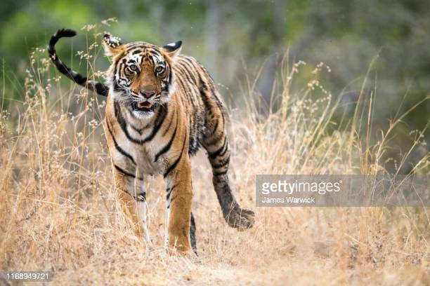 bengal tigress - threatened species stock pictures, royalty-free photos & images