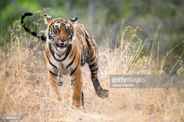 bengal tigress - especies amenazadas fotografías e imágenes de stock