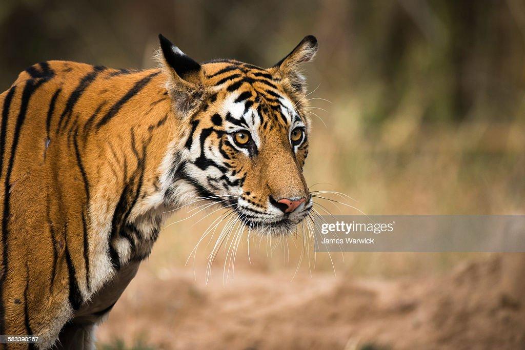 Bengal tigress portrait : Stock Photo