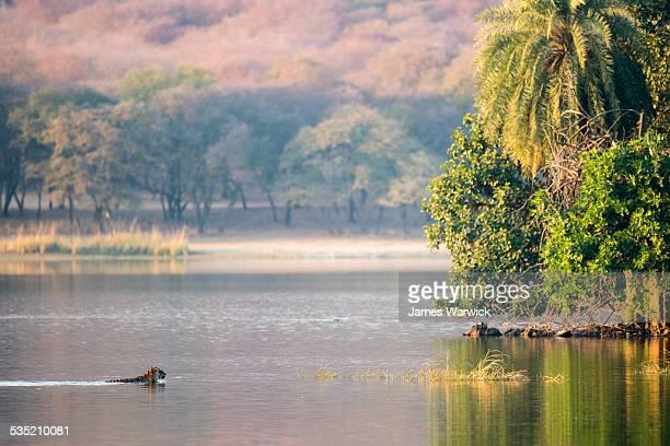 Bengal tigress swimming across Lake Rajbagh