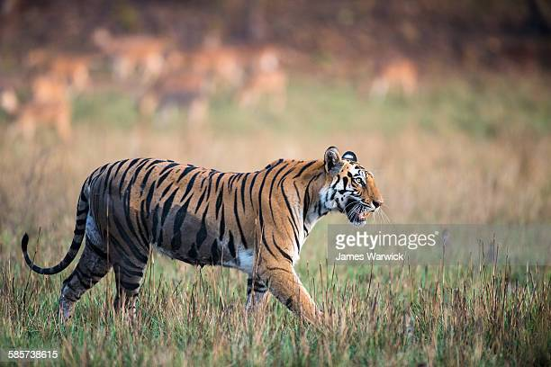Bengal tigress walking across meadow
