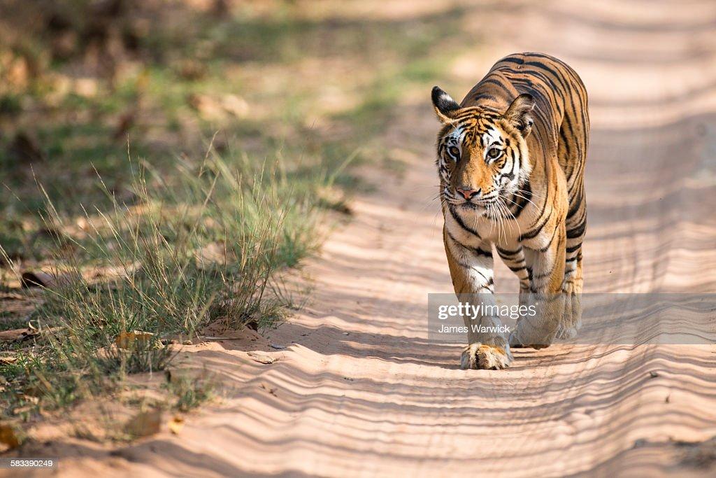 Bengal tigress walking along forest track : Stock Photo