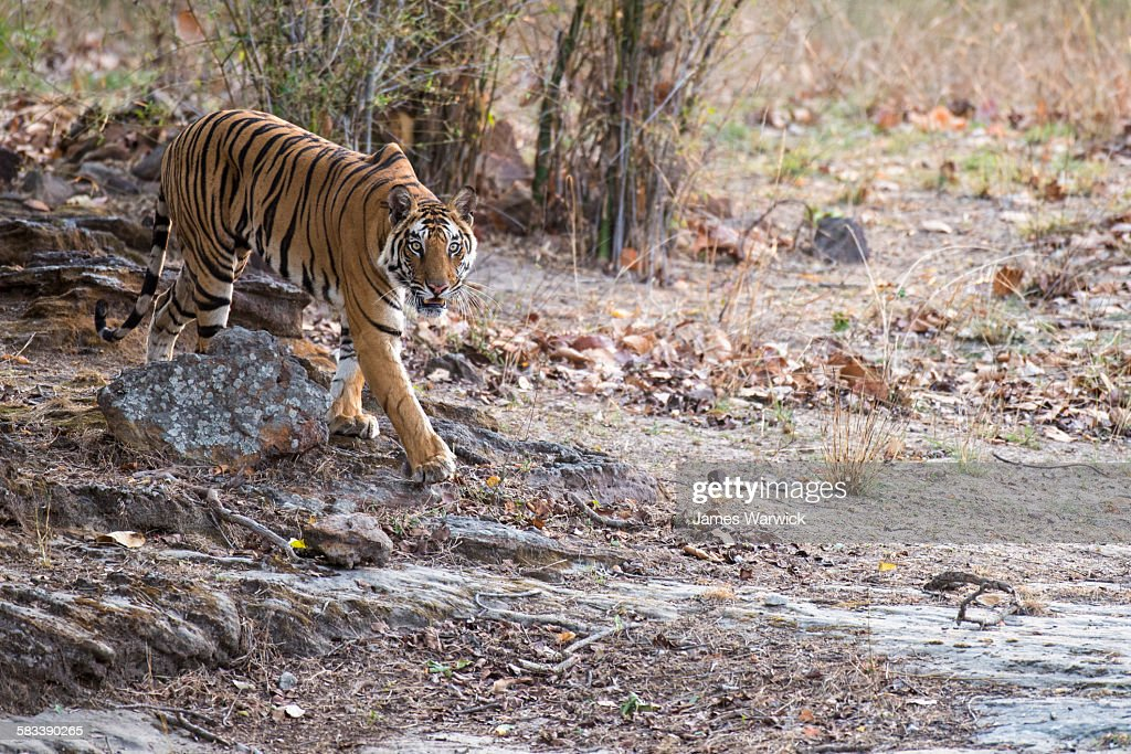 Bengal tigress walking over rocky ground : Stock Photo