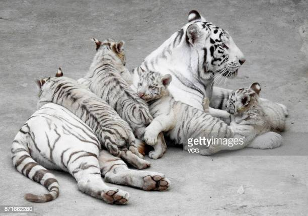 Bengal white tiger quadruplets and their mother Meng Meng meet the public at Xinpu Park on November 8 2017 in Lianyungang Jiangsu Province of China...
