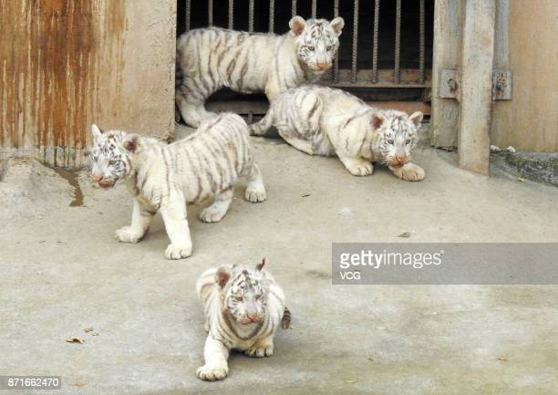 Bengal white tiger quadruplets meet the public at Xinpu Park on November 8 2017 in Lianyungang Jiangsu Province of China Bengal white tiger Meng Meng...