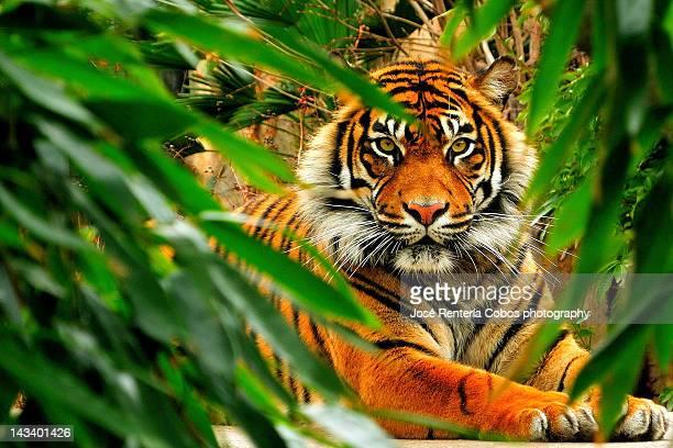 Bengala tiger