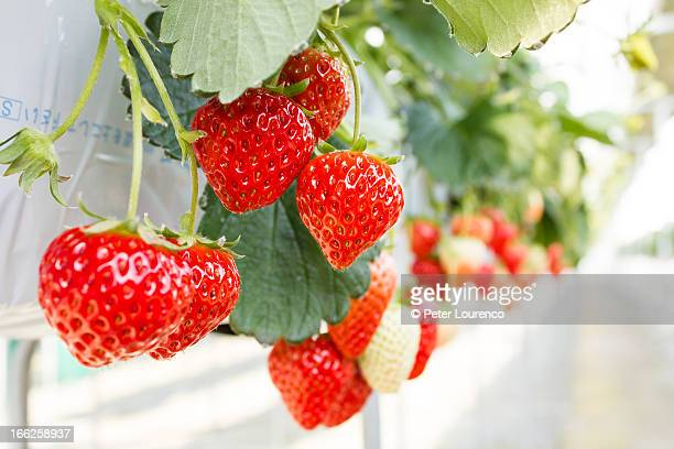 benihoppe strawberries growing - peter lourenco ストックフォトと画像