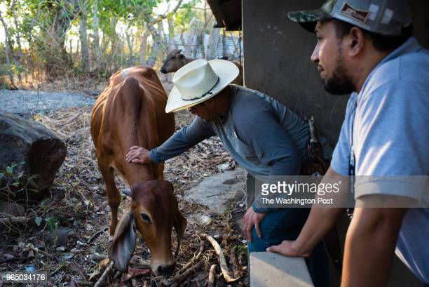 Benjamin Climaco touches a bull on his property Climaco just returned from the United States where he lived in Boston as a window washer Guillermo...