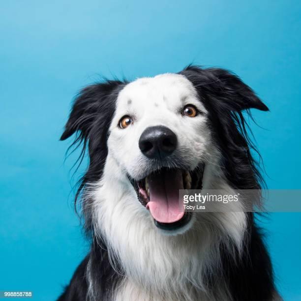 benji the crazy collie dog - border collie fotografías e imágenes de stock