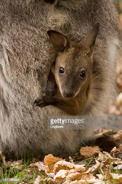 Bennett's or Red-necked Wallaby