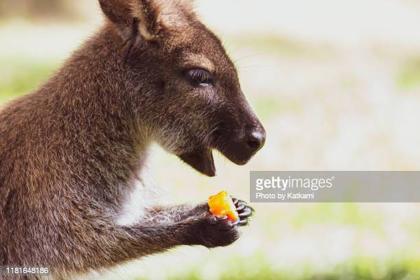 bennett's wallaby eating a carrot - female hairy arms stock photos and pictures