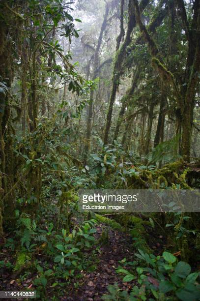 Benson's Trail in rain forest at 7,000 feet at Tari in Southern Highlands, Papua New Guinea.
