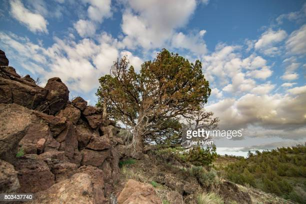 bent and weathered old growth juniper tree under dramatic sky - western juniper tree stock pictures, royalty-free photos & images