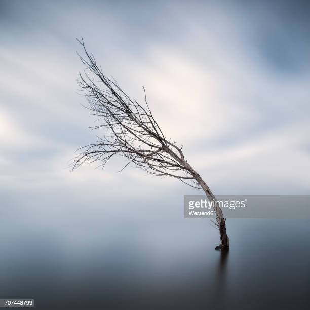 Bent bare tree standing in lake at wintertime