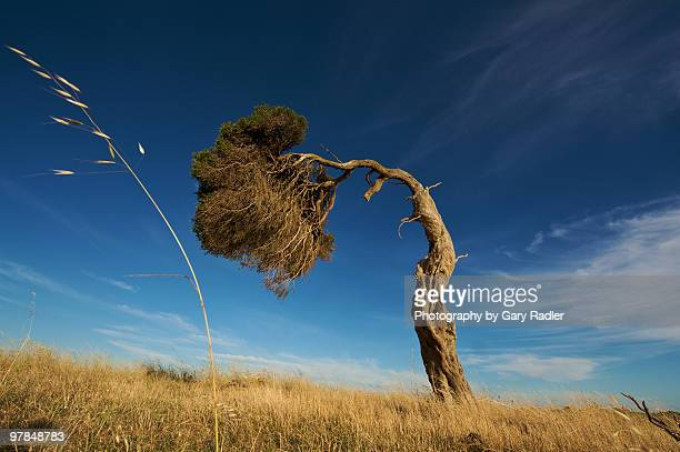 bent grass and bent tree - torto imagens e fotografias de stock