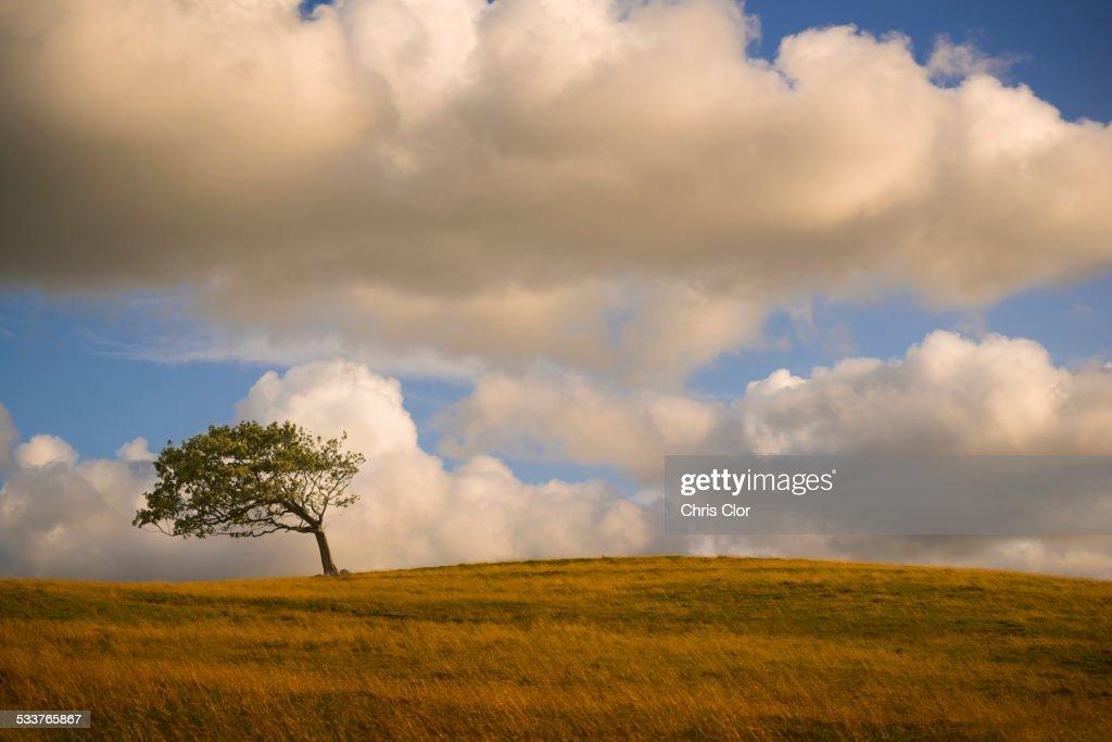 Bent tree on rolling hills in rural landscape : Foto stock
