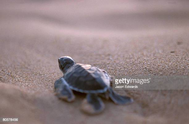a green sea turtle hatchling races across the beach towards the ocean. - green turtle stock pictures, royalty-free photos & images