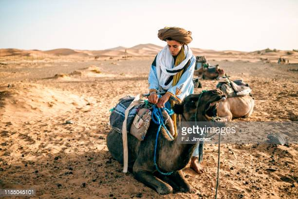 berber man saddling a camel in merzouga, morocco - tuareg tribe stock pictures, royalty-free photos & images