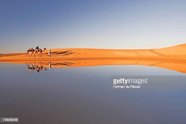 berber man with tourist on a dromedary camel (camelus dromedarius) walking along a waterhole, their image reflected on the water - camel active stock-fotos und bilder
