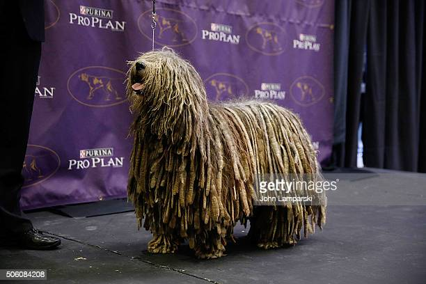 Bergamasco breed named Urgano is displayed during the 140th annual Westminster Kennel Club Dog Show meet the new breeds at Madison Square Garden on...