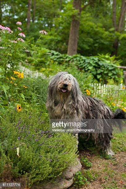 bergamasco garden - vanessa lassin stockfoto's en -beelden
