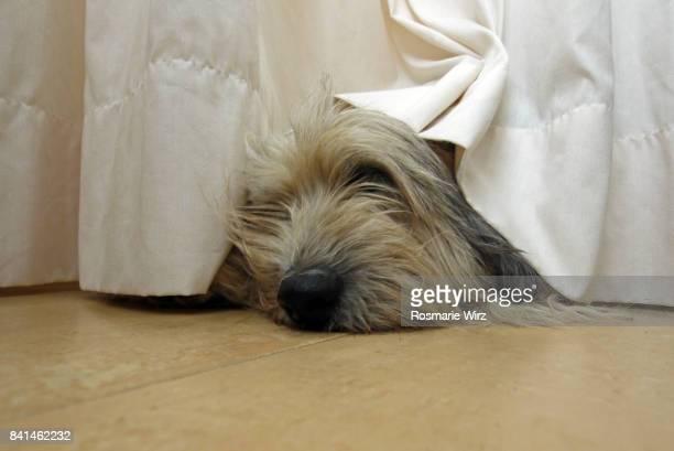 Bergamasco sheepdog hiding under curtain, relaxing