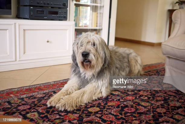 bergamasco sheepdog on persian rug - persian rug stock pictures, royalty-free photos & images