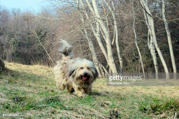 bergamasco sheepdog running forward on early spring meadow - spring forward stock pictures, royalty-free photos & images