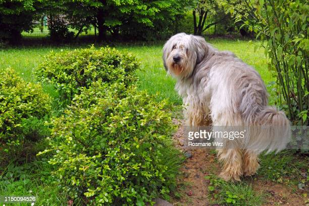 bergamasco sheepdog standing in garden - bergamo stock pictures, royalty-free photos & images