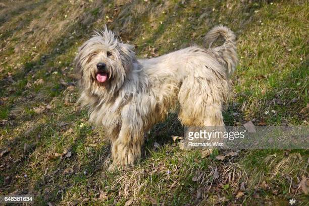 Bergamasco sheepdog standing on spring meadow
