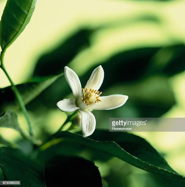 Bergamot Citrus Citrus bergamia