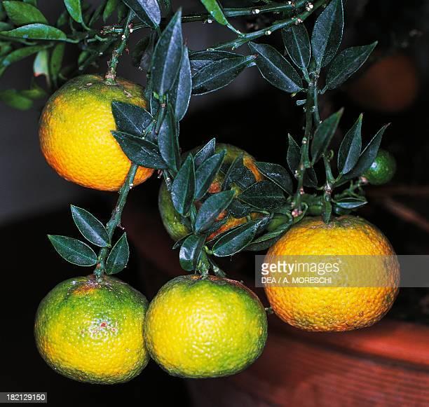Bergamot Orange Rutaceae