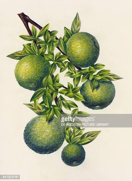 Bergamot oranges Rutaceae drawing