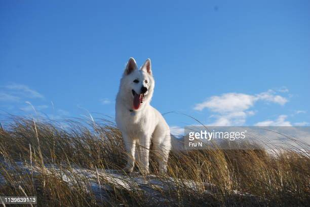 berger blanc suisse on beach in denmark - eden pastora fotografías e imágenes de stock