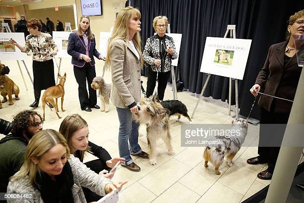 Berger Picard breed is displayed during the 140th annual Westminster Kennel Club Dog Show meet the new breeds at Madison Square Garden on January 21...